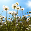 Stock Photo: White daisies on blue sky background