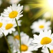 Camomile field — Stock Photo