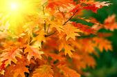 Red autumn leaves background — Foto Stock