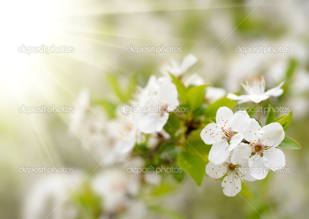 Spring blossoms — Stock Photo #2041992