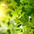 Green leaves with sun ray — Stock Photo #2384270