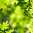 Green maple leaves — Stock Photo #2384697