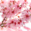 Spring apple blossoms — Stock Photo #2662922