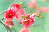 Spring blossoms — Photo