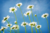White daisies on blue sky background — Zdjęcie stockowe