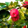 Two red apples on a branch — Stock Photo