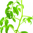 Seedling of the tomato — Stock Photo