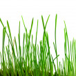 Royalty-Free Stock Photo: The green shoots of wheat