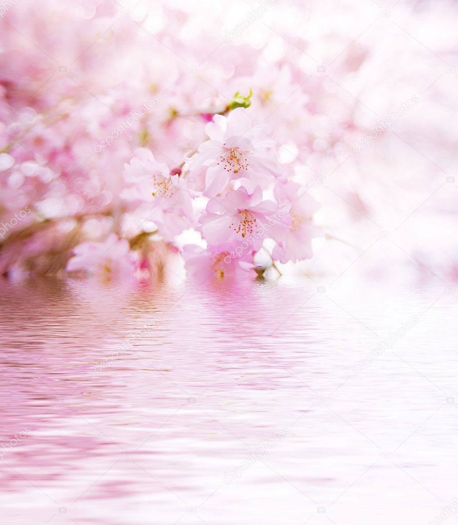Spring cherry blossoms on pink background with water reflection — Stock Photo #1719902