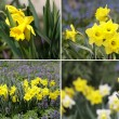 Yellow spring daffodils — Stock Photo