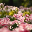 Tulips in Town Garden - Stock Photo