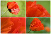 Collection of Red poppies — Stock Photo