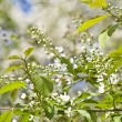 Inflorescence of bird cherry tree — Stock Photo