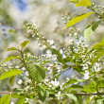 Inflorescence of bird cherry tree — Stock Photo