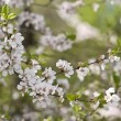 sakura spring blossoms — Stock Photo