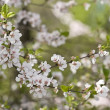 Sakurspring blossoms — Stock Photo #1819758