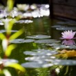 Beautiful waterlily - Stock Photo