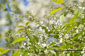 Inflorescence of bird cherry tree — Zdjęcie stockowe