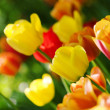 Tulips in Town Garden — Stock Photo #1820277