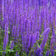Beautiful violet sage — Stock Photo #1820326
