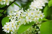 Blossoming bird cherry — Stock Photo