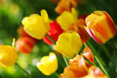Tulips in Town Garden — Stock Photo
