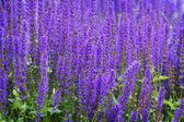 Beautiful violet sage — Stock Photo