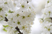 Flower tree on natural background — Stock Photo