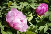 Макро Розовый пион — Стоковое фото