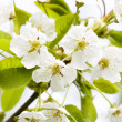 Flower tree on natural background — Stock Photo #1862167