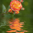 Rose with reflected in the water — Stock Photo