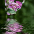 Closeup of flower with reflected — Stock Photo