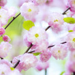 Spring cherry blossoms — Stock Photo #1865002