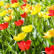 Many tulips in the garden — Stock Photo #1865018