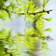 Green leaves , shallow focus — Stock Photo #1865039