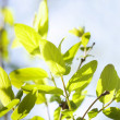 Green leaves , shallow focus — Stock Photo
