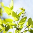 Green leaves , shallow focus — Stock Photo #1865053