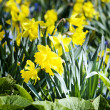 Daffodils in green grass — Stock Photo