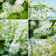 Blossoming bird cherry collection - Stock Photo