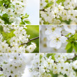 Blossoming cherry-tree Collection - Stock Photo