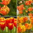 Collection of spring tulips — Stock Photo