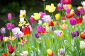 Many tulips in the garden — Stock Photo