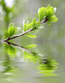 Green leaves reflecting in the water — 图库照片