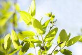 Foglie verdi, poco profondo, messa a fuoco — Foto Stock