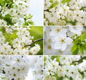 Blossoming cherry-tree Collection — Stock Photo