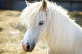 Beautiful white horse — 图库照片