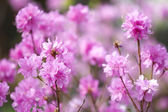 Pink rhododendrons — Stock Photo