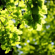 Green leaves, shallow focus — Stock Photo #2026855