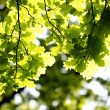 Green leaves, shallow focus — Stock Photo #2026872