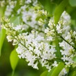 Fragrant lilac bush — Stock Photo #2118641